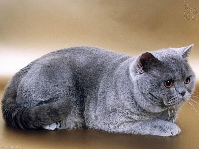 gato britanico