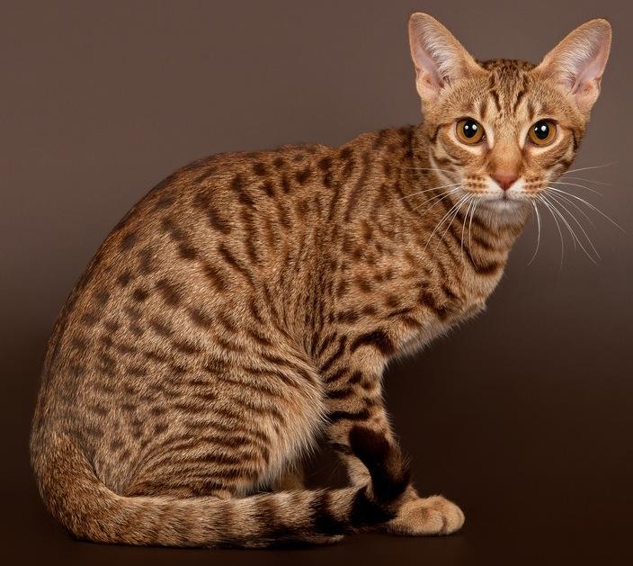 gato ocelote